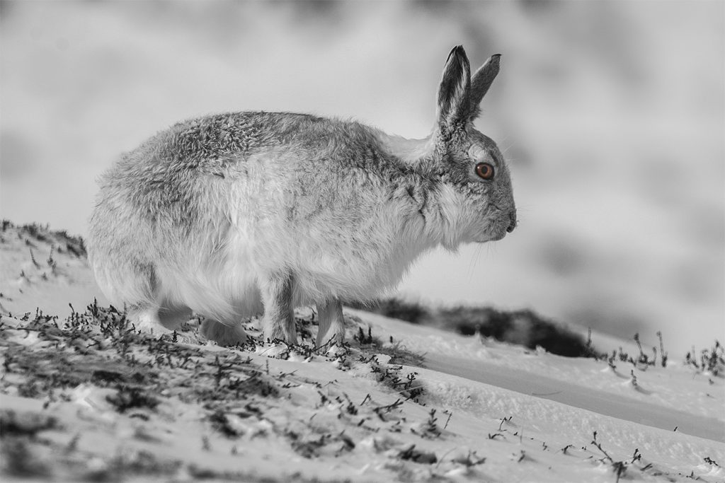 Moutain hare