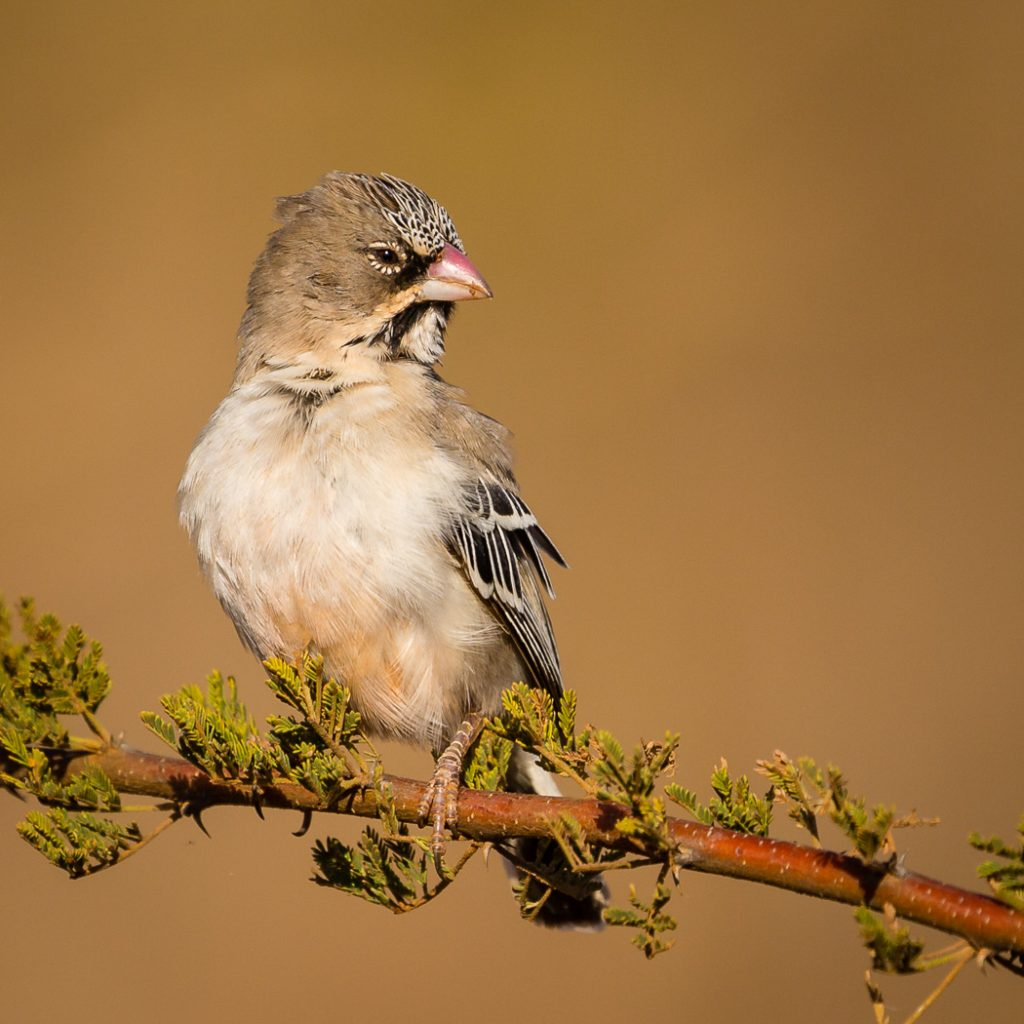 Scaley feathered finch